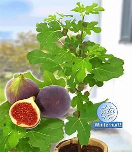 Feigenbaum Im Kübel : frucht feige 39 rouge de bordeaux 39 gro kaufen baldur garten ~ Lizthompson.info Haus und Dekorationen