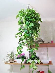 Trailing Leaves 27 Awesome Indoor Houseplants To