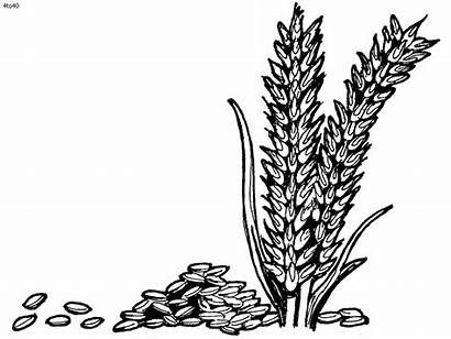 Rice Wheat Grains Clipart Coloring Plant Pages