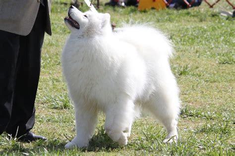 samoyed breed information samoyed images samoyed dog