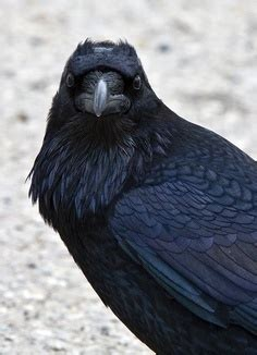 raven prince princes trilogy   elizabeth hoyt