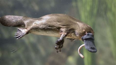 curious facts   platypus mental floss