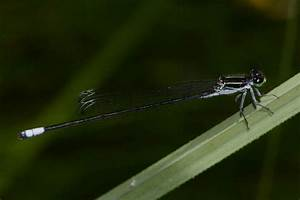 Black-and-white Damsel (Apanisagrion lais)