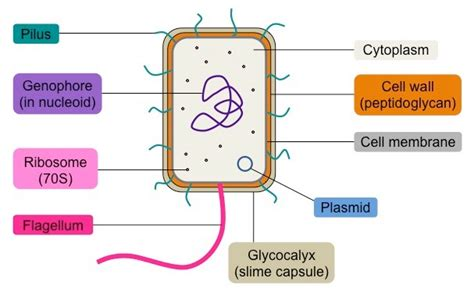 Prokaryote Structure Bioninja