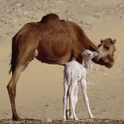 Camel ~ Wild Life