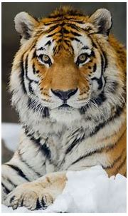 Wild cats, Rare animals, Animals beautiful