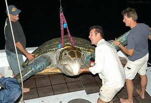 Biggest sea turtle ever