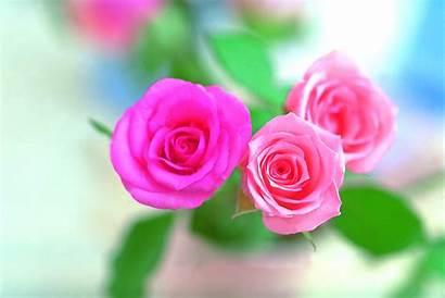 Rose Pink Flower Wallpapers Flowers Background Desktop