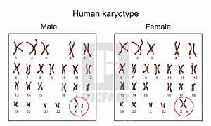 Human Chromosomes  Male Vs Female Karyotype  Illustration