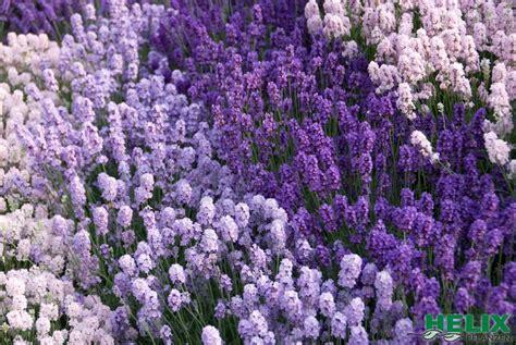 Lavendel Und Gräser by Gartencenter Tropica Gr 252 N Erleben Lavendel