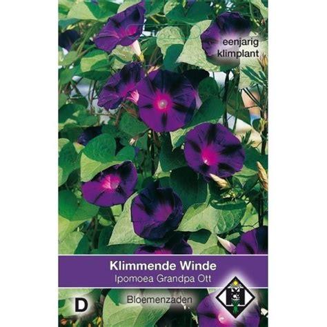 donkerpaarse bloemen 1 20 m ipomoea purpurea grandpa ott zaad klimmende winde
