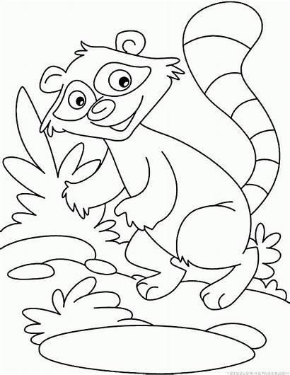 Raccoon Coloring Drawing Pages Raccoons Animal Getdrawings
