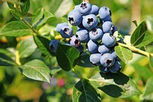 Wann Heidelbeeren Pflanzen : blaubeeren f r den garten ~ Orissabook.com Haus und Dekorationen