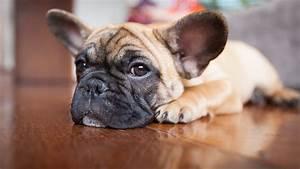 Hundebekleidung Französische Bulldogge : franz sische bulldogge modehund mit knautschgesicht ~ Frokenaadalensverden.com Haus und Dekorationen