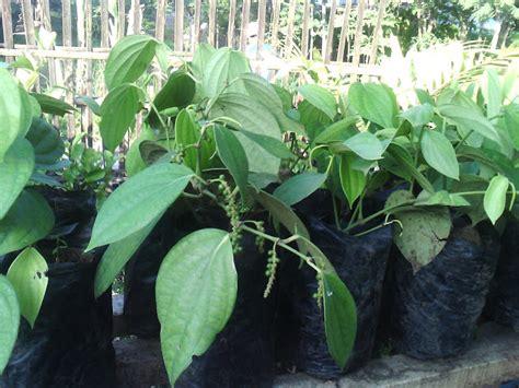 bibit buah tanaman hias tanam mericalada pot