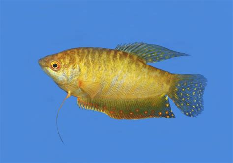 Facts About Gouramis