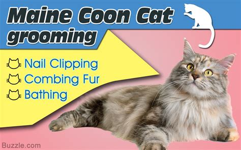 Do Maine Coons Shed Their Mane by Fur And Combs How To Properly Groom A Maine Coon Cat