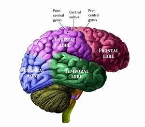 briefly describe the structure of cerebrum in human brain ...