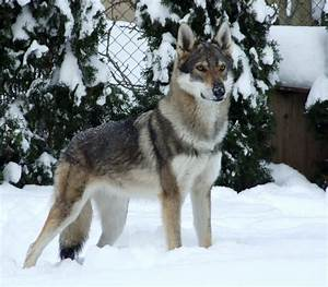 17+ Dog Breeds List That Look Like Wolves (Wolf Dogs ...