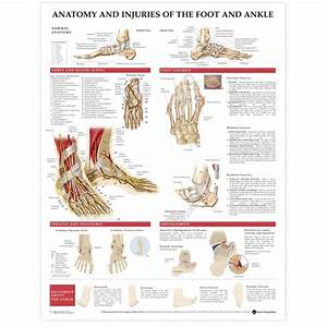 Anatomy  U0026 Injuries Of The Foot  U0026 Ankle Poster