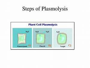 Ppt - Plasmolysis Lab Powerpoint Presentation