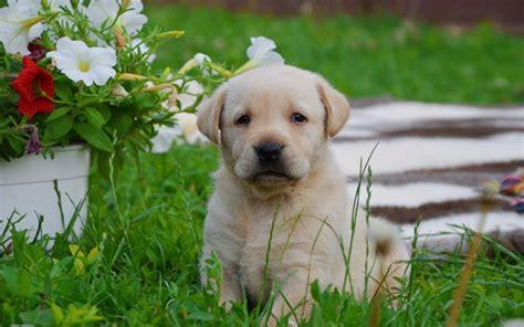 golden retriever puppy price in india