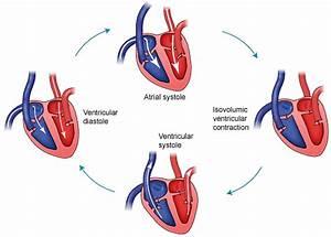 Figure 1 Cardiac Cycle Phases  11