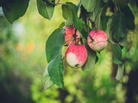 Kā pareizi vākt ābolus   BrīvBrīdis.lv