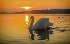 Swan Bird Lake Beautiful Sunset Wallpaper Hd ...