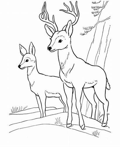 Deer Coloring Pages Printable Buck Hunting Sheet