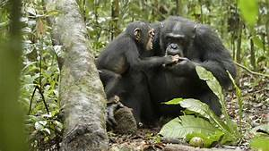 Oscar Is Worthy! See Chimpanzee, Support Jane Goodall's ...