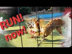 Sad start to a tiger day