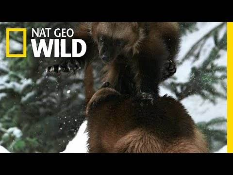 A Wolverine Showdown | Alaska's Deadliest