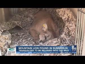 Mountain lion found in Summerlin