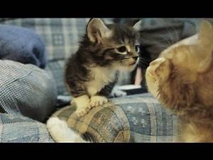 Older Sibling Cat Meets Younger Baby Kitten for The First Time CORNY MUSIC