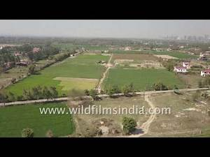 Gir bull farm in NOIDA: aerial view of agricultural and cow fodder belt in Uttar Pradesh