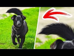 When Your Dog's Tail Turns to the Left, Run Away With Your Pet