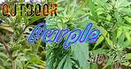 Outdoor Weed | Cannabis Exterieur Plantation 🌱 Review (Purple Haze)