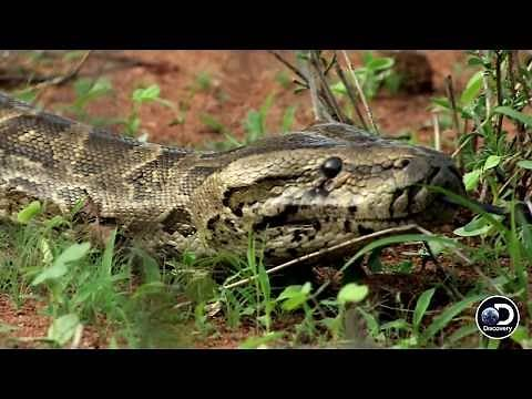 Why Are Humans So Afraid Of Snakes? | Man-Eating Python