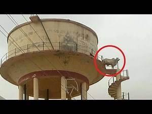 Bull becomes Viru of Sholay, climbs water tank in Rajasthan's Churu | Oneindia News