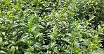 Mentha Spicata India [Leaves & Oil, Seeds] Supplier & Exporter