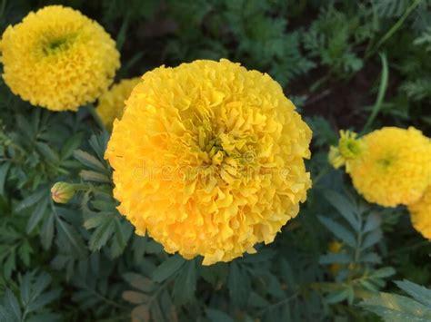 AmericanMarigold-Flower