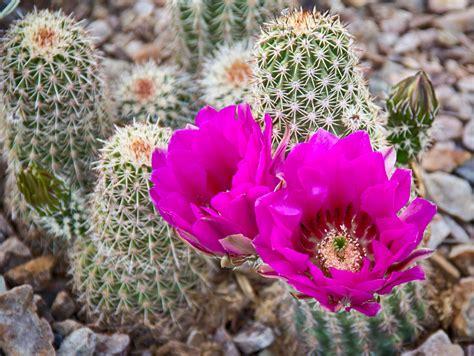 Arizona-CactusFlowers