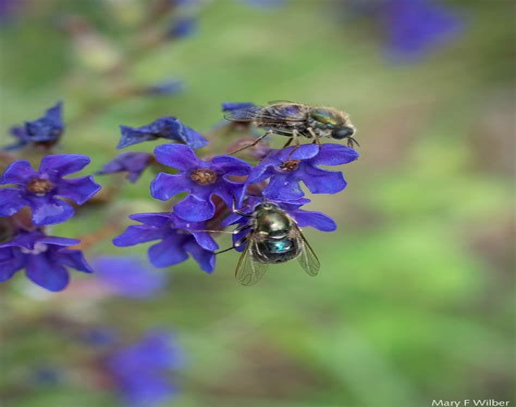 Bee-On-PurpleFlower