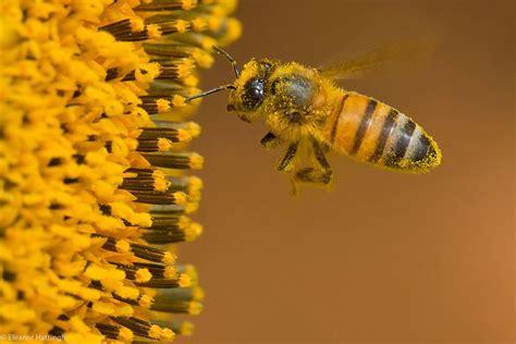 Bee-PollenFlower