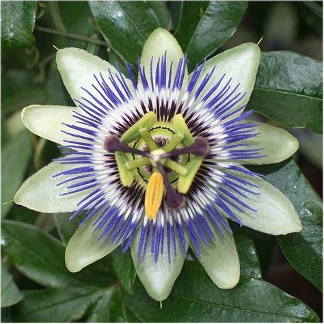 Blue-CrownPassion-Flower