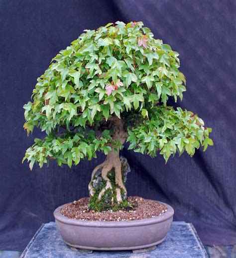 BonsaiGardenia-Plant