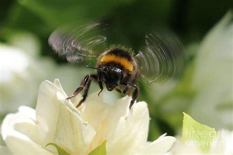 Bumble-Bee-Buzzing