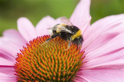 Bumblebee-Flowers-Reno