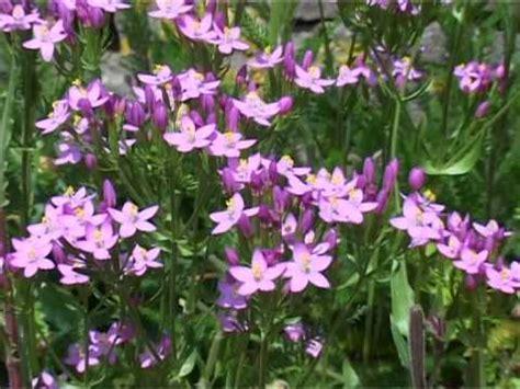 CentauryBach-Flower-Remedy